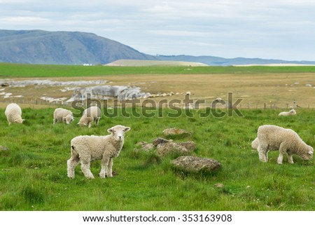 flock of sheep in New Zealand - stock photo