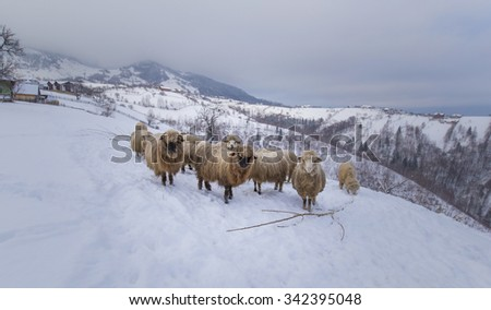 Flock of sheep in the mountains, in winter - stock photo