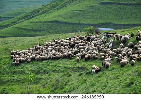 Flock of sheep in the pasture. Romania - stock photo
