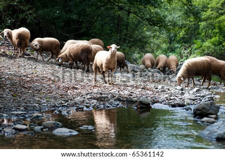 Flock of sheep near a stream at Mokra Gora, a village in Serbia on the northern slopes of mountain Zlatibor - stock photo