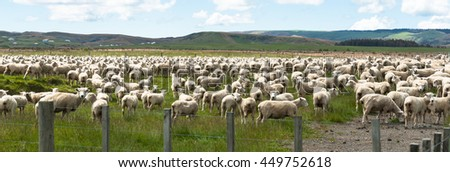 Flock of sheep  New Zealand panorama