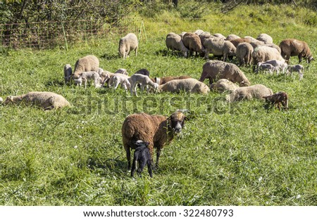 Flock of sheep on a green pasture suggesting organic grown farm animals with sun light