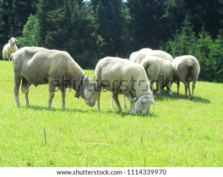 stock-photo-flock-of-sheep-on-a-meadow-c