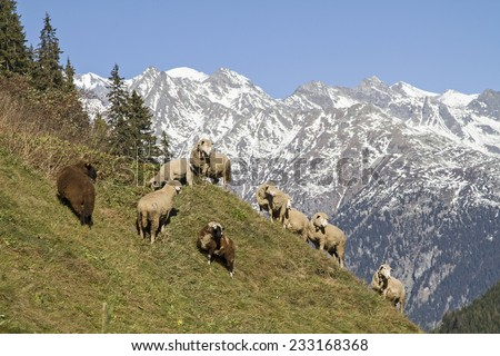 Flock of sheep on a mountain meadow in Medel valley in the Swiss canton of Grison - stock photo