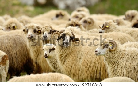 flock of sheep on field
