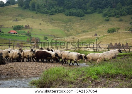 flock of sheep on mountain pasture in autumn morning - stock photo