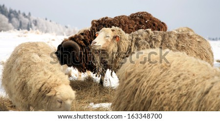 Flock of sheep skudde with lamb eating the hay meadow covered with snow. Winter on the farm. - stock photo