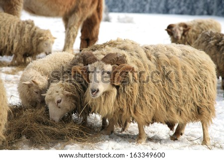Flock of sheep skudde with ram eating the hay meadow covered with snow. Winter on the farm. - stock photo