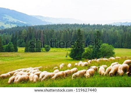 Flock of sheeps on the meadow next to Zakopane Mountains, Poland - stock photo