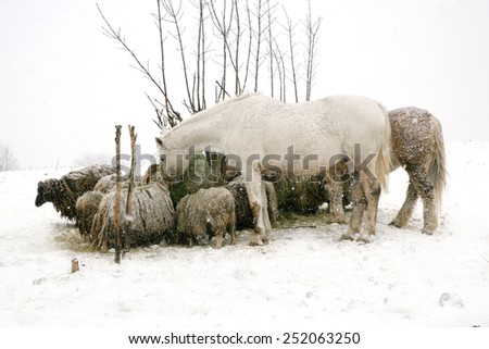 Flock of sheeps Skudde and horses eating hay from the net. Winter on the Farm. - stock photo