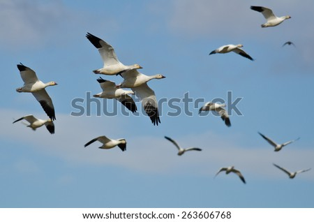 Flock of Snow Geese Flying in a Cloudy Sky - stock photo