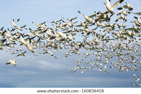 Flock of snow geese in flight. - stock photo