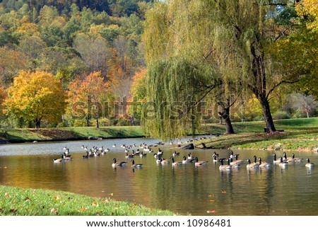 Flock of snowgeese lazily float on a calm river that reflects the beginning of Autumn on its mirror like surface.