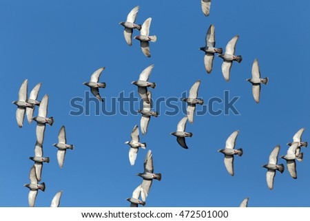 Flock of sport carrier pigeons flying against a beautiful deep blue sky during their daily trainning for competition