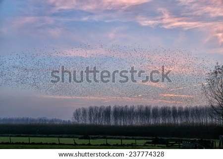 Flock of starlings in evening light - stock photo