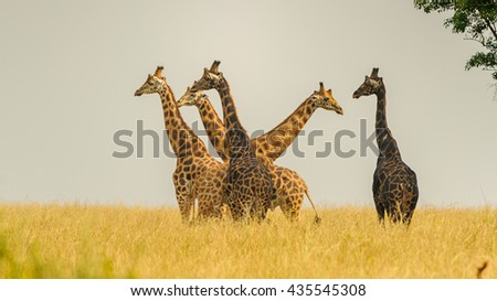 Flock of the giraffes in Africa above the grass - stock photo