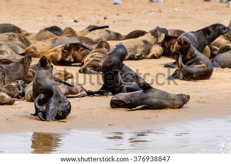 Flock of the Sea lions on the coast of the Atlantic Ocean, Namibia