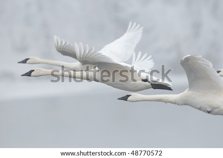 Flock of Trumpeter Swans (Cygnus buccinator) Fly Past - wild group of trumpeter swans fly by in preparation for landing on wintry Minnesota river - focus on middle swan - panning and motion blur - stock photo