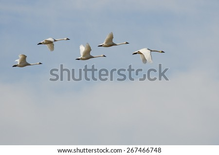 Flock of Tundra Swans Flying High Above the Clouds - stock photo
