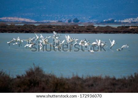 flock of white egret  - stock photo