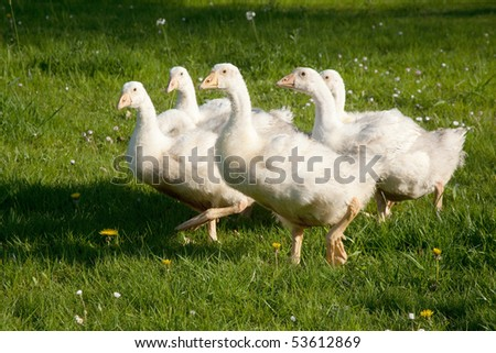 Flock of white Embden geese, Hampshire, England.