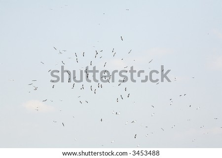 flock of white pelicans flying in the blue sky (pelecanus onocrotalus)