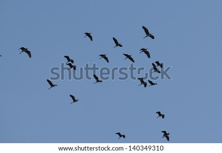 Flock of White Storks (Ciconia ciconia) in flight - stock photo