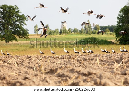 Flock of white storks on the field preparing for autumn migration  - stock photo
