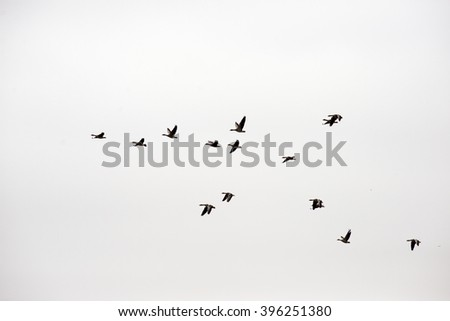 Flock of wild geese in flight formation high up. - stock photo