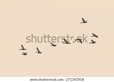 flock of wild mallard  ducks flying  on the sky ( Anas platyrhynchos ) - stock photo