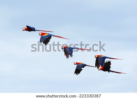 flock of wild scarlet macaws on tree, carate, corcovado national park, puntarenas, costa rica near panama