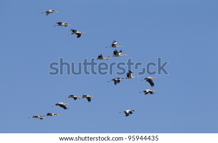 Flock of Yellow Billed Storks (Mycteria ibis) flying in the Kruger Park, South Africa - stock photo