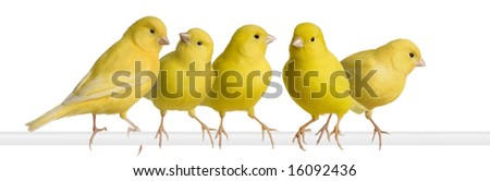 Flock of Yellow canary - Serinus canaria on its perch in front of a white background - stock photo