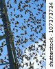 flock of young starlings flying on blue sky background - stock