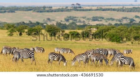 Flock of Zebras grazing grass in Masai Mara savannah - stock photo