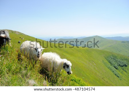 Flock sheep on a summer field in mountain