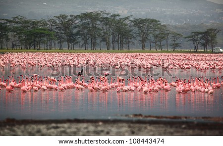 Flocks of flamingo. Africa. Kenya. Lake Nakuru - stock photo