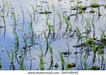 Flooded newly planted rice seedlings in rice paddy.