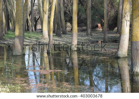 Flooded poplar tree trunks during high water in Danube river in early spring