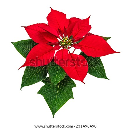 Flor de Nochebuena, Red poinsettia isolated - stock photo