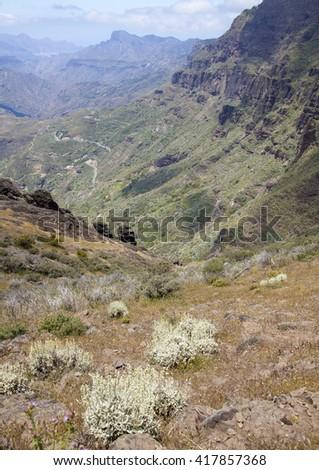 Flora of Gran Canaria -  Sideritis dasygnaphala, mountain tea bushes grow on the slopes of Caldera de Tejeda - stock photo