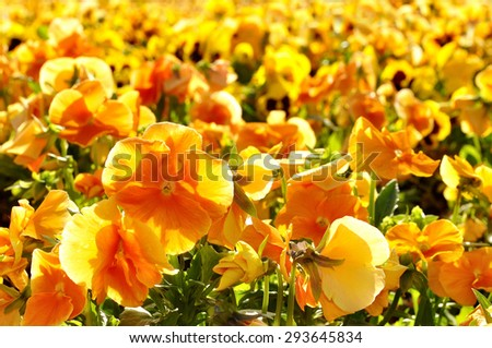Floral background -  field of orange pansies in sunlight