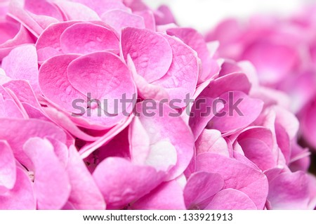 Floral background, flowers and petals of pink hydrangea close-up, macro