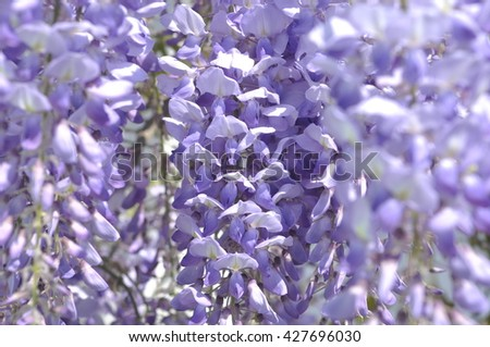 Floral background. Wisteria flowers closeup. Abstract background