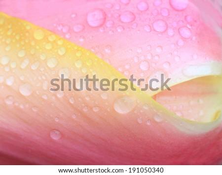 floral background with dew drops, tulip petals closeup - stock photo