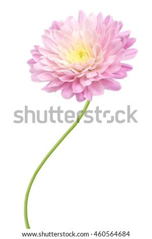 Floral branch: chrysanthemum blooming autumn - stock photo