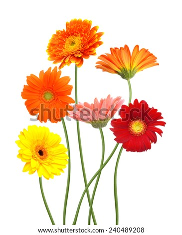 Floral Branch: Gerber daisy flowers isolated on white - stock photo