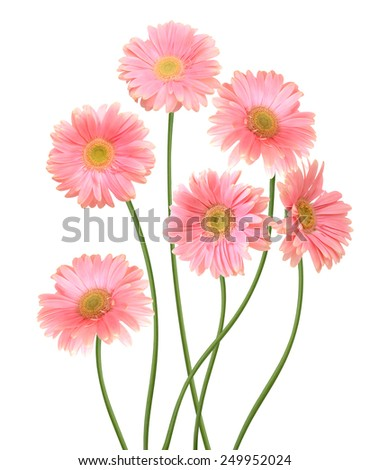 Floral branch: Gerber flowers, daisies isolated on white - stock photo