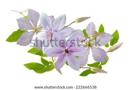 floral decoration from clematis flower  - stock photo