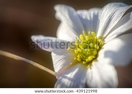 Floral natural background with beautiful wild flower with white petals and yellow mid closeup on the blurred background - stock photo